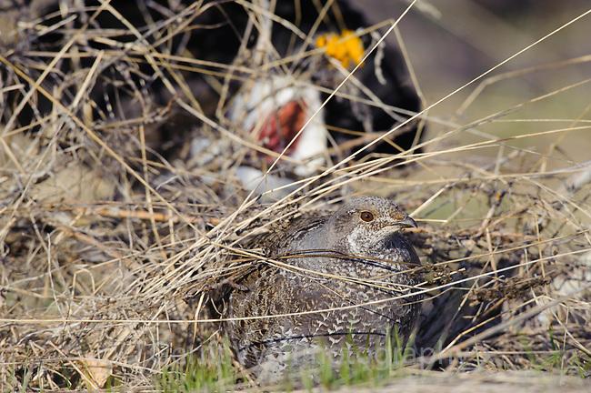 Male Dusky Grouse (Dendragapus obscurus) pursuing a female in spring. Okanogan County, Washington. April.