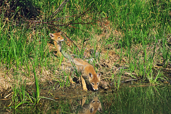 Coyote pups exploring near densite.  Western U.S., spring.