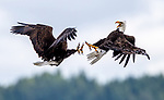 Dramatic battle between eagles as they fight over fish in mid air by Yuriko David