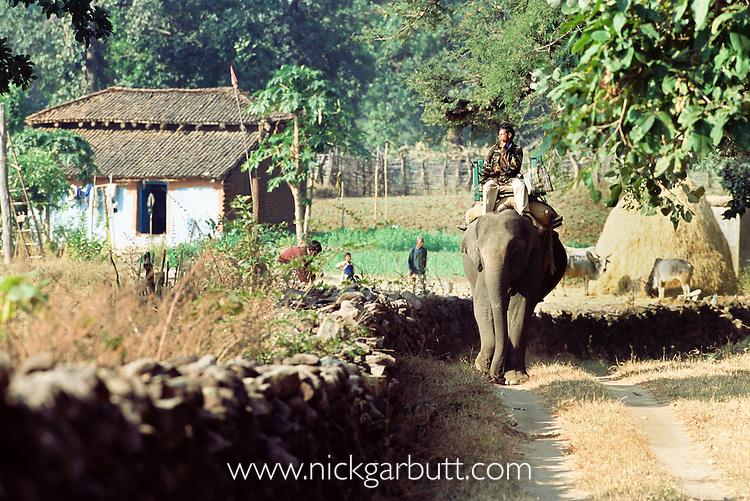 National Park patrol, riding domestic Asian Elephant  (Elephas maximus) through farmland on the perimeter of Bandhavgarh National Park, India