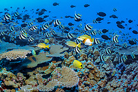 schooling bannerfish, pennant butterflyfish, Heniochus diphreutes, and other reef fish, swarming over pristine coral reef, French Frigate Shoals, Papahanaumokuakea Marine National Monument, Northwestern Hawaiian Islands, USA, Pacific Ocean