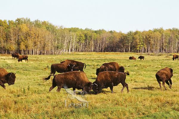 Wood bison bulls sparring, dominance behavior, Elk Island N.P., Canada