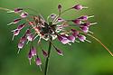 Allium carinatum subsp. carinatum flowers. Julian Alps, Slovenia. July