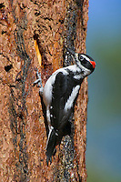 Male Hairy Woodpecker (Picoides villosus) on side of ponderosa pine tree.  Western U.S.