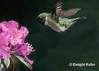 HU11-009x  Ruby-throated Hummingbird - male flying -  Archilochus colubris