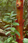 17935-CA Madrone tree, Arbutus menziesii, foliage, exfoliating bark on branch, in August, in Sonoma County, CA USA