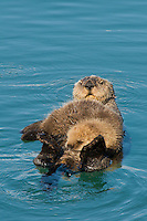 Alaskan or Northern Sea Otter (Enhydra lutris) mom with young pup.  Pup has dozed off after nursing.  Alaska.