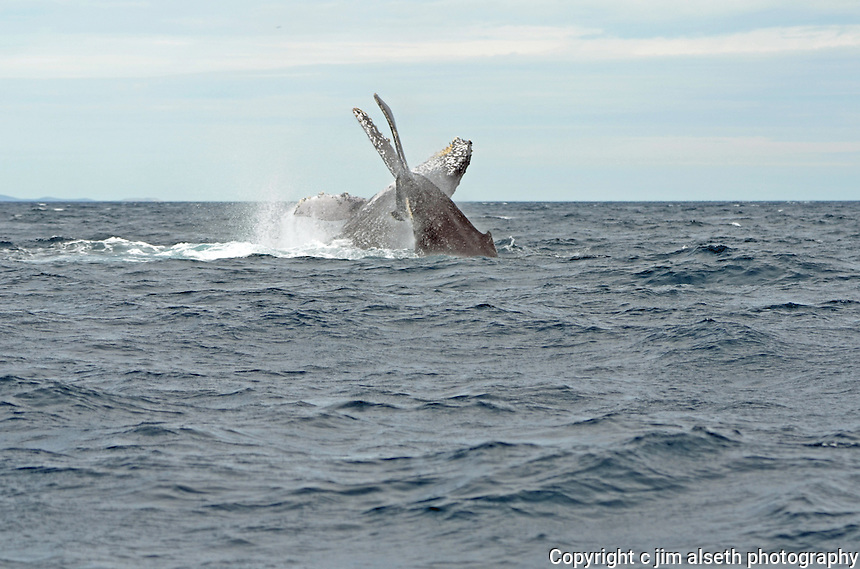 January and February is prime Humpback Whale migration season in Los Cabos...