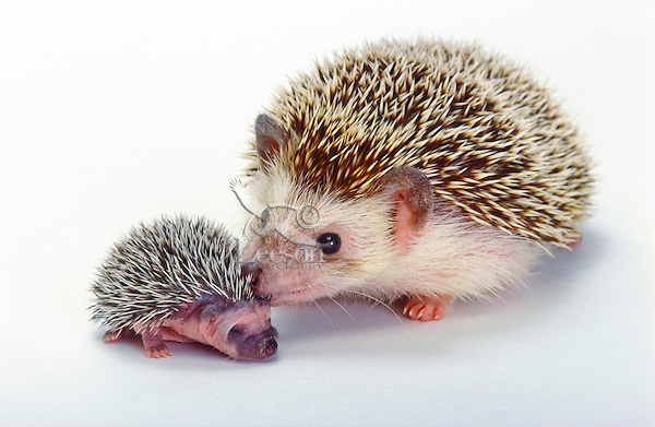 Four-Toed Hedgehog/African Pygmy Hedgehog mother & young (Atelerix albiventris). Found throughout much of central & eastern Africa.
