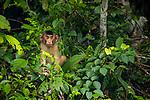 Southern Pig-tailed Macaque (Macaca nemestrina) young, Kinabatangan River, Sabah, Borneo, Malaysia