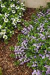SCAVEOLA AERNULA SURDIVA BLUE AND SURDIVA WHITE, PALMFLOWER