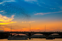 Some 1.5 million bats emerge from below the Congress Street Bridge near downtown Austin as they do every night in the summer, looking for food. The largest urban bat colony in the world lives here.