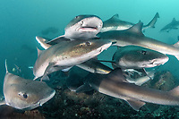 banded houndshark, Triakis scyllium, shark feed in Tateyama, Chiba, Japan, Pacific Ocean