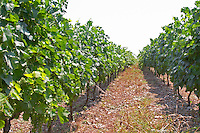 Rows of vines. Vines trained high on wires supported by concrete pillars poles, with grape bunches. Parellada grape variety (big leaves). Kantina Miqesia or Medaur winery, Koplik. Albania, Balkan, Europe.