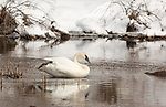 Trumpeter swan on the Chippewa River in northern Wisconsin.