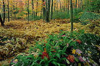 Common polypody ferns<br />   and northern hardwood forest<br /> Ricketts Glen State Park<br /> Luzerne County,  Pennsylvania