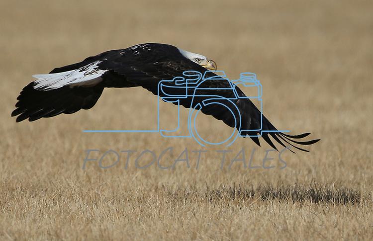 A bald eagle flies through a ranch in Minden, Nev., on Thursday, Feb. 1, 2018. <br />Photo by Cathleen Allison/Nevada Momentum
