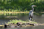 Damon, Texas; a great blue heron standing on a small island in the slough in early morning sunlight