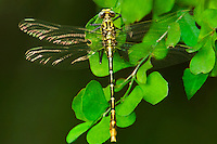 334090002 a wild newly emergent or teneral russet-tipped clubtail dragonfly stylurus plagiatus perches on a leaf stem along the rio grande river near santa ana national wildlife refuge in south texas