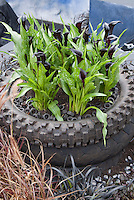 Calla Lilies in recycled Tire Planter, Zantedeschia for a cute and funny container garden of summer bulbs, with dark purple almost black flowers