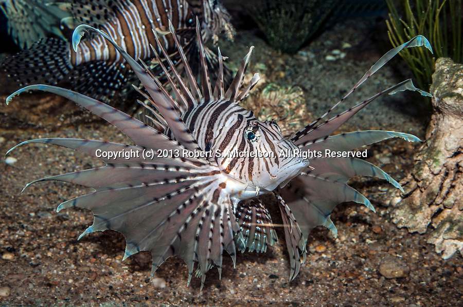 Red Lionfish swimming 45 degerees to camera