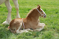 Clydesdale foal at Ayr Show.