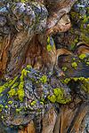 Incense Cedar, Calocedrus, Stanislaus National Forest, Sierra Nevada, California