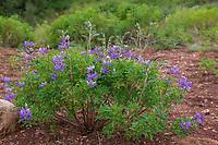 Alaska-Lupine, Alaskalupine, Lupinus nootkatensis, Nootka lupine, Nootka lupin, Blue Lupine