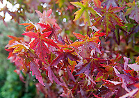 Red leaves in a garden, Bouldon, Ludlow, Shropshire.