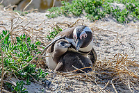 African penguin, Spheniscus demersus, adult with chick in nest at breeding colony, Boulders Beach, False Bay, Simons Town, South Africa