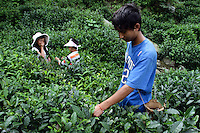 Children collect tea leaves from a plantation nestled in the remote mountain valleys of northern Sichuan. Tea plantations are some of the projects being targeted by the EU-China Biodiversity Program to promote sustainable harvesting in the region.  Pingwu County in Sichuan Province, south-west China.
