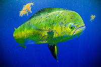 mahi-mahi, common dolphinfish, or dorado, Coryphaena hippurus, bull, swimming under sargassum, Florida, USA, Atlantic Ocean