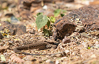 Sonoran Tiger Whiptail, Aspidoscelis tigris punctilinealis, digs a burrow at the Desert Botanical Garden, Phoenix, Arizona