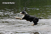 0808-0811  English Springer Spaniel Jumping off Dock into Water, Canis lupus familiaris © David Kuhn/Dwight Kuhn Photography.