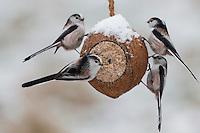 Schwanzmeise, Trupp, selbstgemachtes Vogelfutter in einer Kokosnuss, Kokosnuß, Vogelfütterung, Fütterung, Fettfuttermischung, Fettfutter, Winter, Schnee, Schwanz-Meise, Meise, Meisen, Aegithalos caudatus, Long-tailed tit, bird's feeding, snow, La Mésange à longue queue