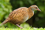 Weka (Gallirallus australis), Kapiti Island, North Island, New Zealand