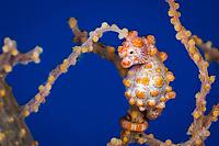 Bargibanti Pygmy seahorse, Hippocampus bargibanti, Alam Batu, Bali, Indonesia, Pacific Ocean