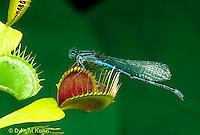 CA13-013b  Venus Fly Trap - damselfly prey on trap, carnivorous plant - Dioncea muscipula