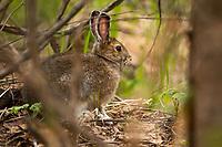 Snowshoe Hare, Chugiak Alaska.