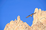 Adult lammergeier or bearded vulture (Gypaetus barbatus) in flight. Ladakh, Himalayas, northern India.