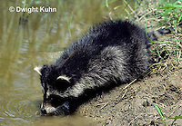 MA25-010z  Raccoon - young animal at pond, stream - Procyon lotor