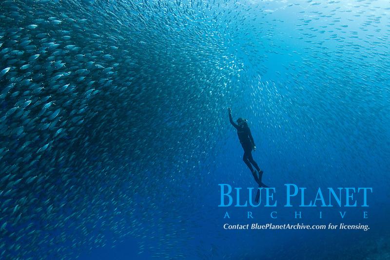 freediver among schooling bigeye scad or akule, Selar crumenophthalmus, Kona, Hawaii ( Pacific Ocean ) MR