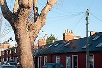A mature Sycamore tree in a Dublin street, Ireland.