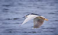 Black-Crowned Night Heron in flight with wings in downstroke, flying over water