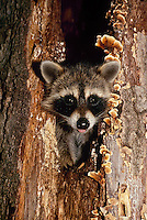Cute baby raccoon or pup, Procyon lotor, pokes head and wet nose out of hollow log