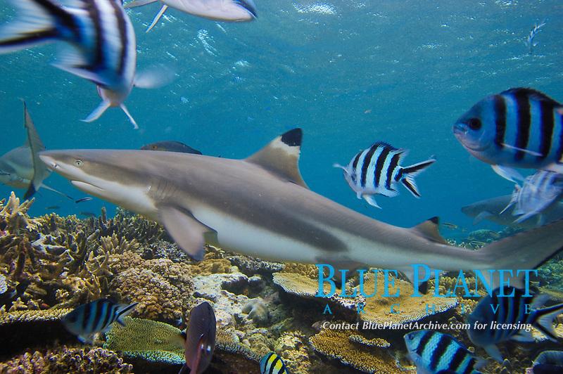 Blacktip Reef Shark, Carcharhinus melanopterus, Shark Reef, Beqa Lagoon, Fiji, South Pacific Ocean