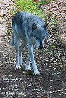 0823-1001  Gray Wolf (Grey Wolf), Canis lupus  © David Kuhn/Dwight Kuhn Photography