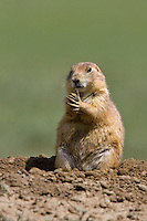 Prairie dog cleaning its' paws