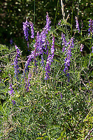 Vogel-Wicke, Vogelwicke, Wicke, Vicia cracca, tufted vetch, cow vetch, bird vetch, boreal vetch