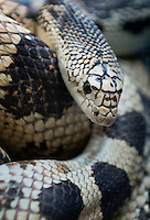 Northern Pine Snake, Pinelands, New Jersey, USA